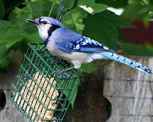 learn-bluejay-at-suet